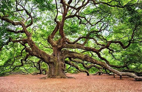 Old Wise Oak Tree